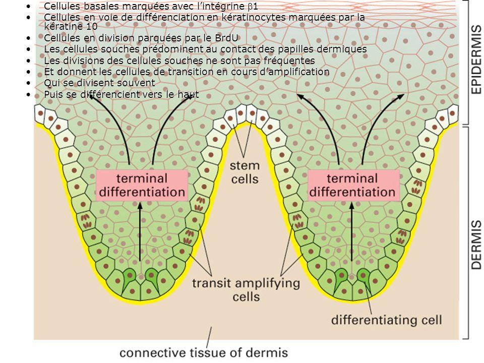 Fig 22-6 Cellules basales marquées avec l'intégrine 1