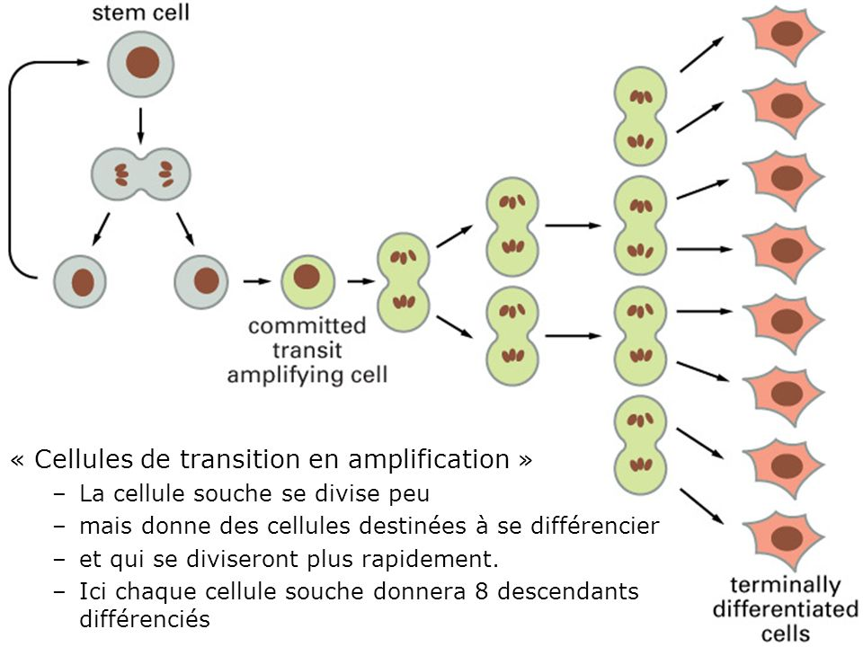 Fig 22-7 « Cellules de transition en amplification »