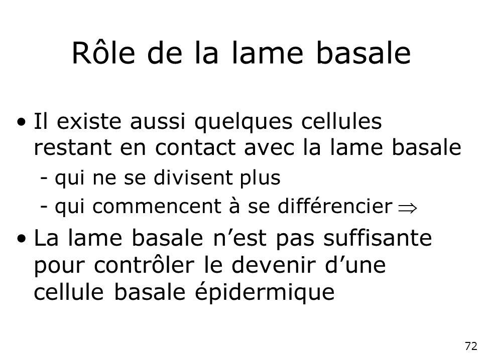 Rôle de la lame basale Il existe aussi quelques cellules restant en contact avec la lame basale. qui ne se divisent plus.