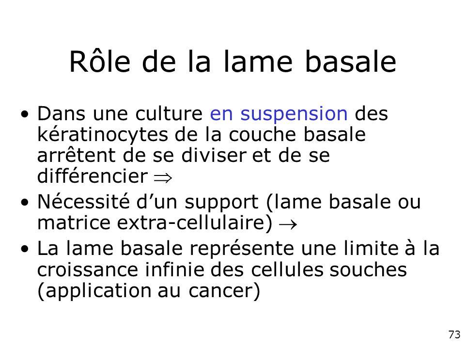 Rôle de la lame basale Dans une culture en suspension des kératinocytes de la couche basale arrêtent de se diviser et de se différencier 