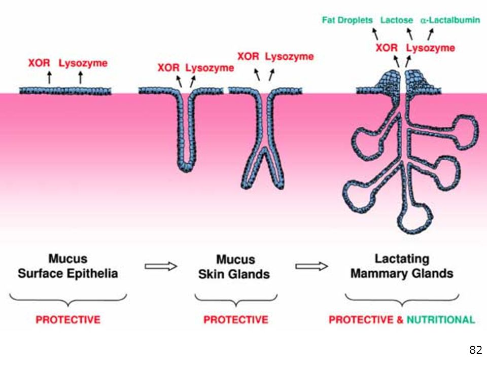 Proposed evolution of the mammary gland from a mucus-secreting epithelial gland.