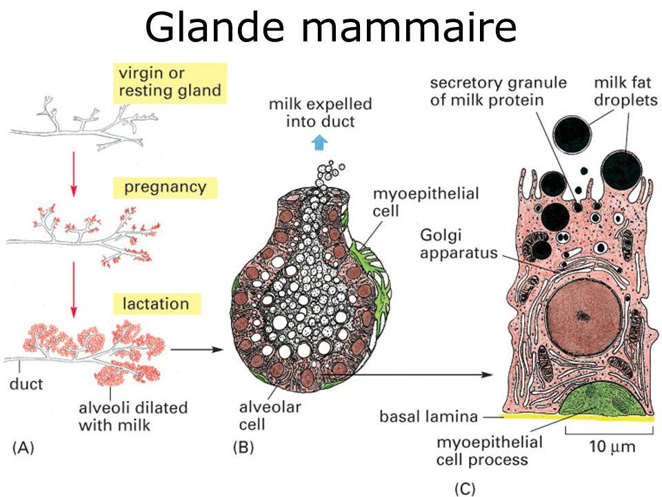 Glande mammaire #7p1266