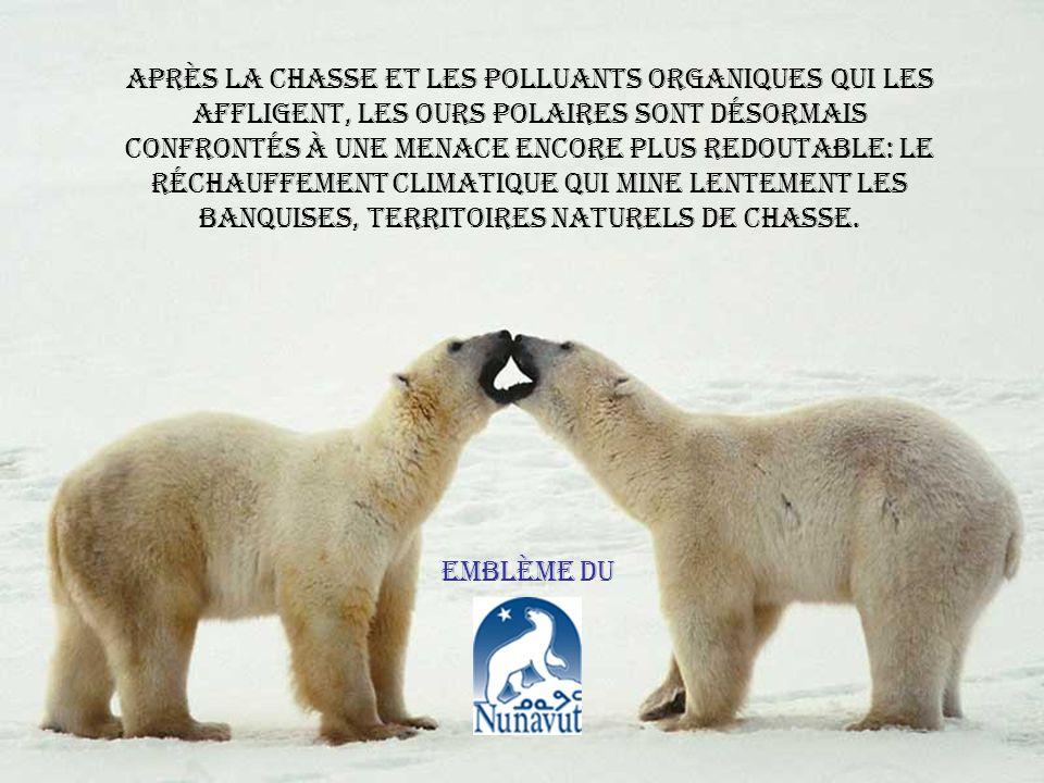 Après la chasse et les polluants organiques qui les affligent, les ours polaires sont désormais confrontés à une menace encore plus redoutable: le réchauffement climatique qui mine lentement les banquises, territoires naturels de chasse.