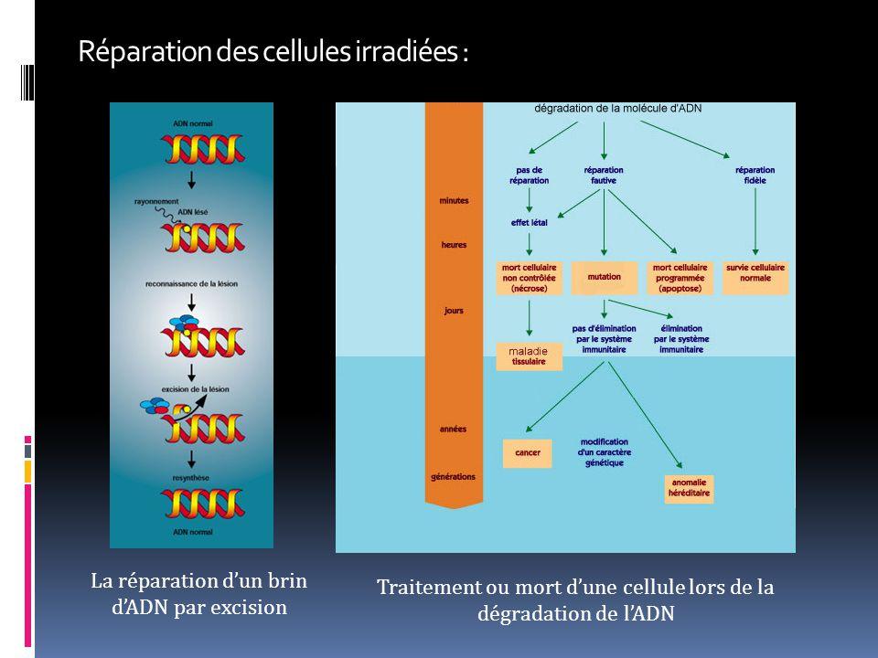 Réparation des cellules irradiées :