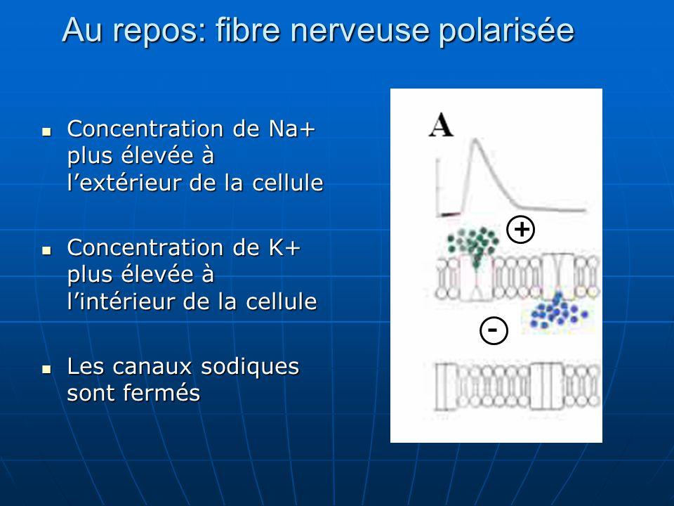 Au repos: fibre nerveuse polarisée