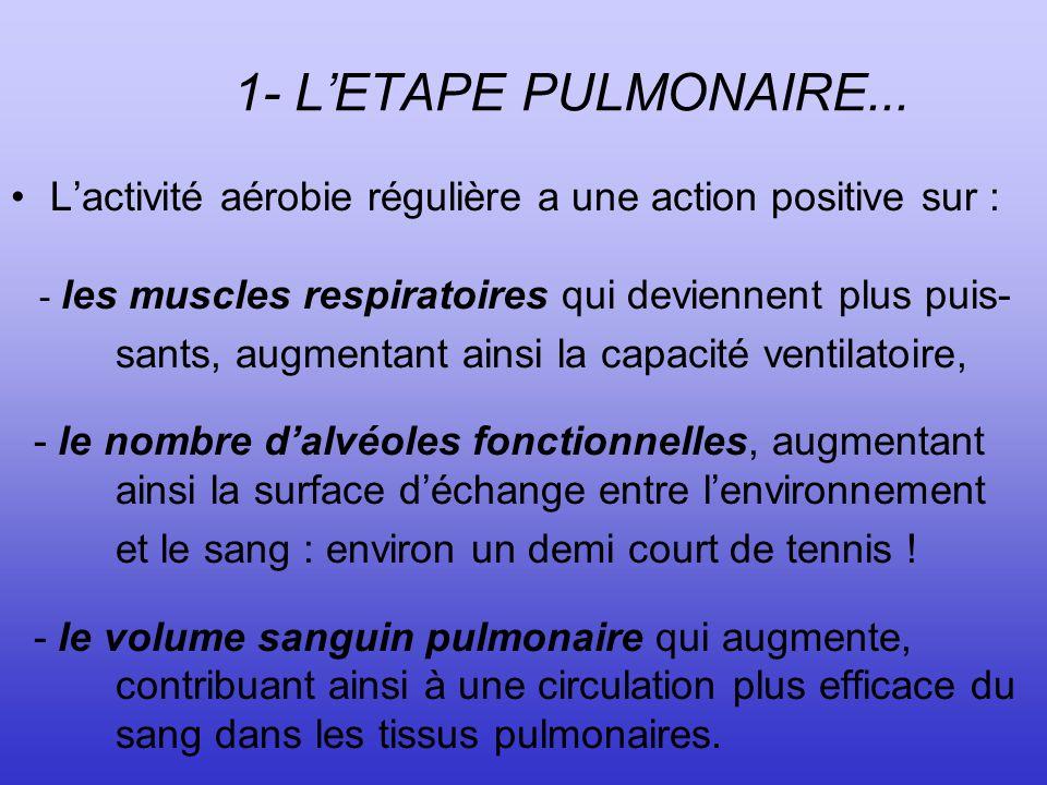 1- L'ETAPE PULMONAIRE... L'activité aérobie régulière a une action positive sur : - les muscles respiratoires qui deviennent plus puis-