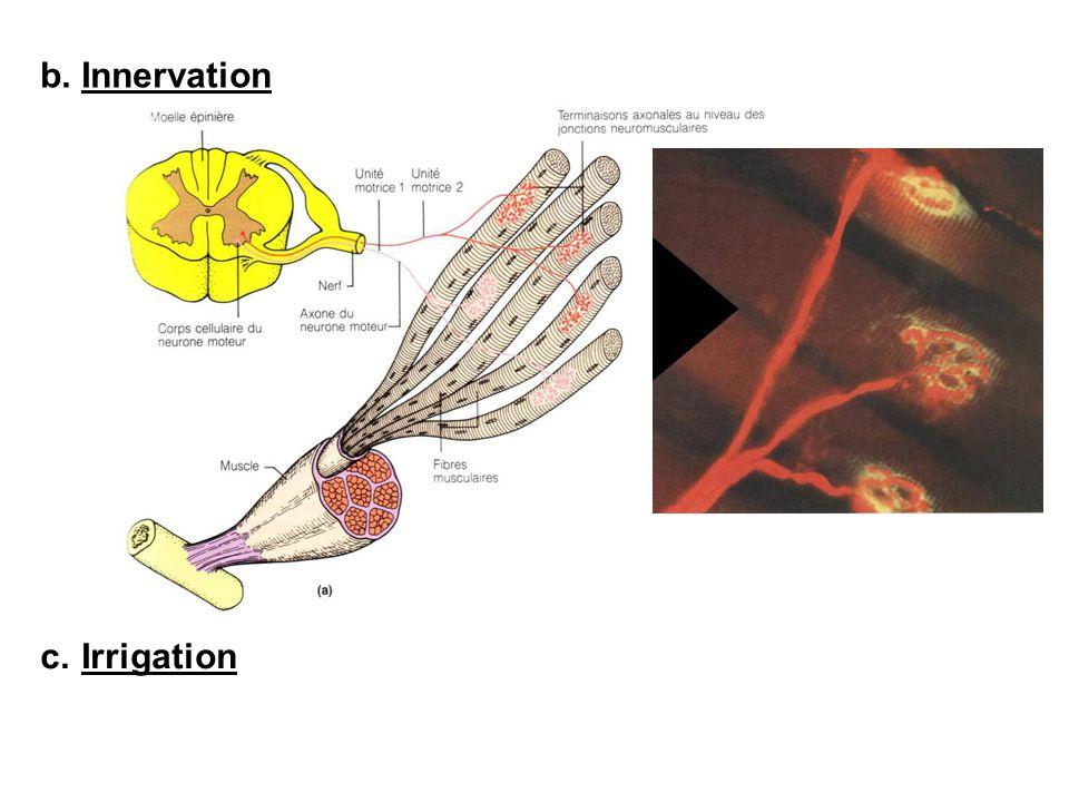 b. Innervation c. Irrigation