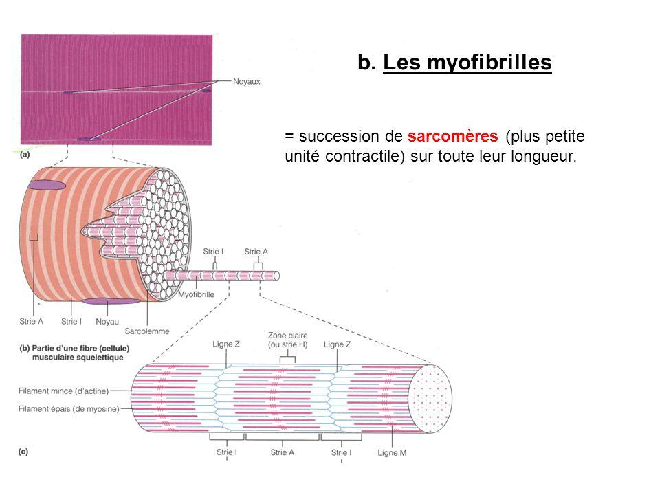 b. Les myofibrilles = succession de sarcomères (plus petite unité contractile) sur toute leur longueur.