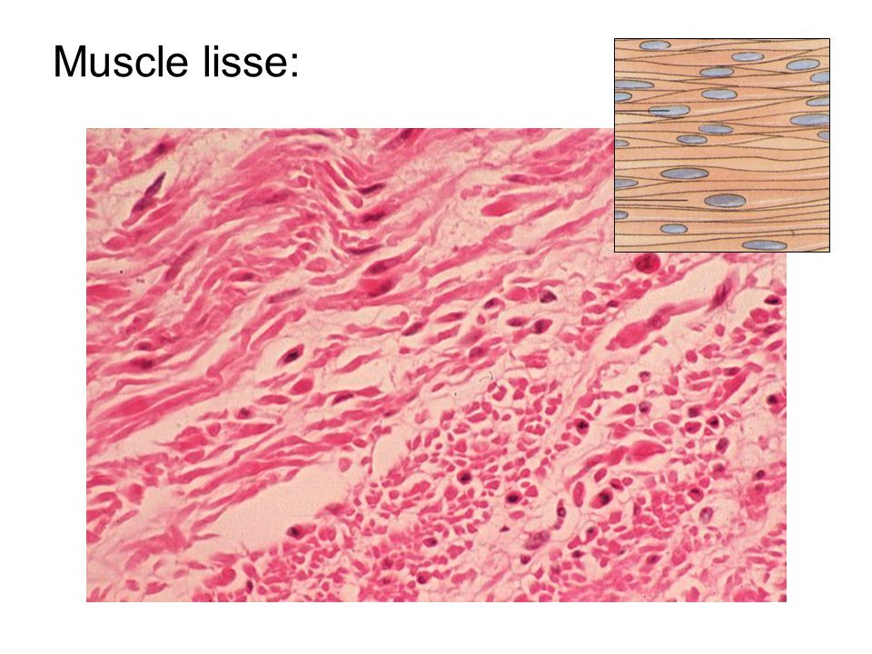 Muscle lisse: