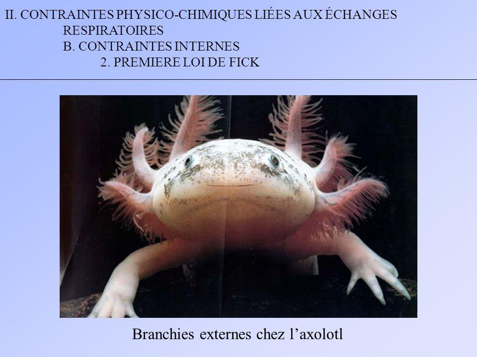 Branchies externes chez l'axolotl