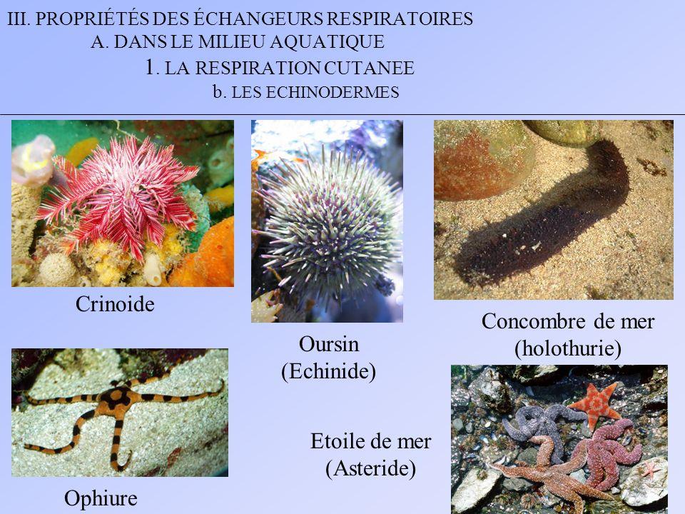 Crinoide Concombre de mer (holothurie) Oursin (Echinide) Etoile de mer
