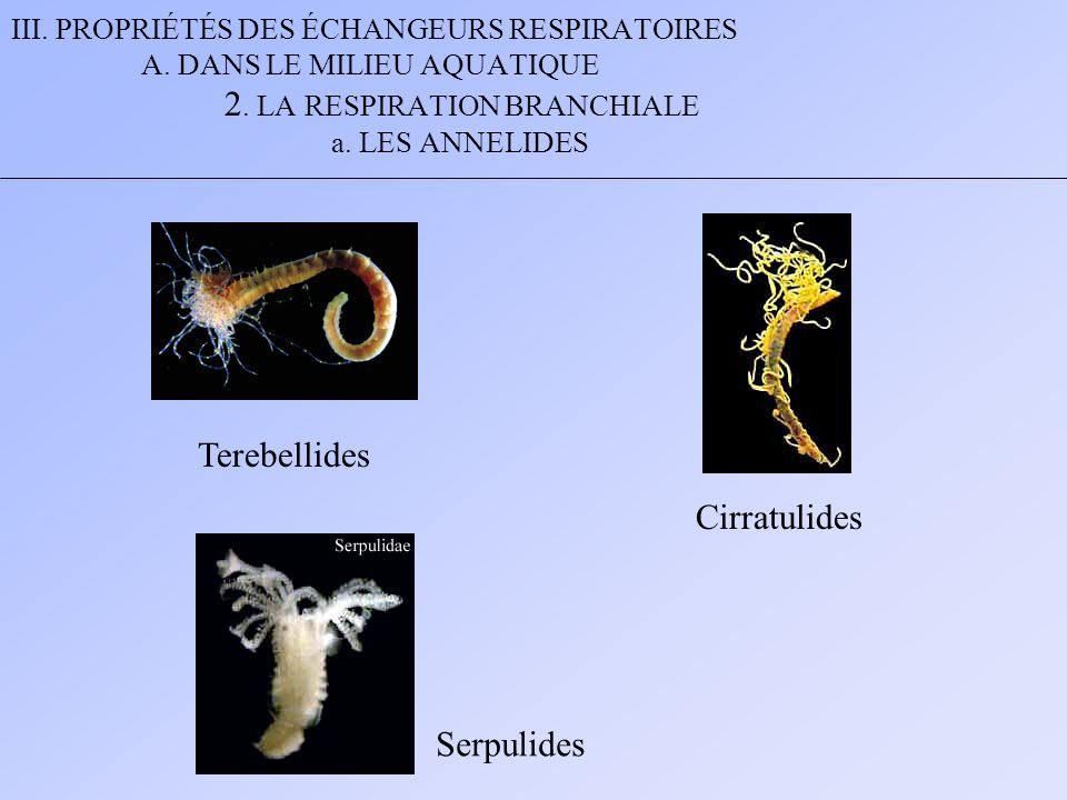 Terebellides Cirratulides Serpulides