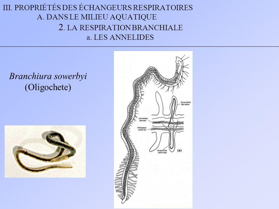 Branchiura sowerbyi (Oligochete)