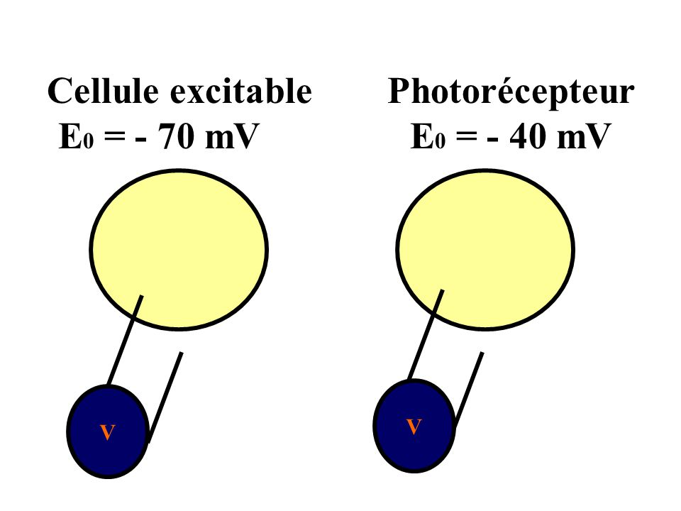 Cellule excitable Photorécepteur E0 = - 70 mV E0 = - 40 mV V V