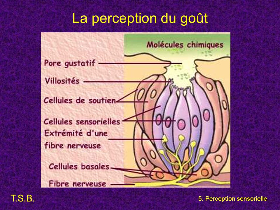 La perception du goût