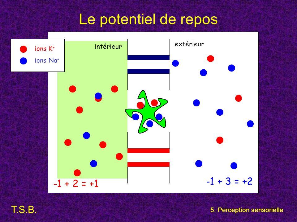 Le potentiel de repos -1 + 3 = +2 -1 + 2 = +1 extérieur intérieur