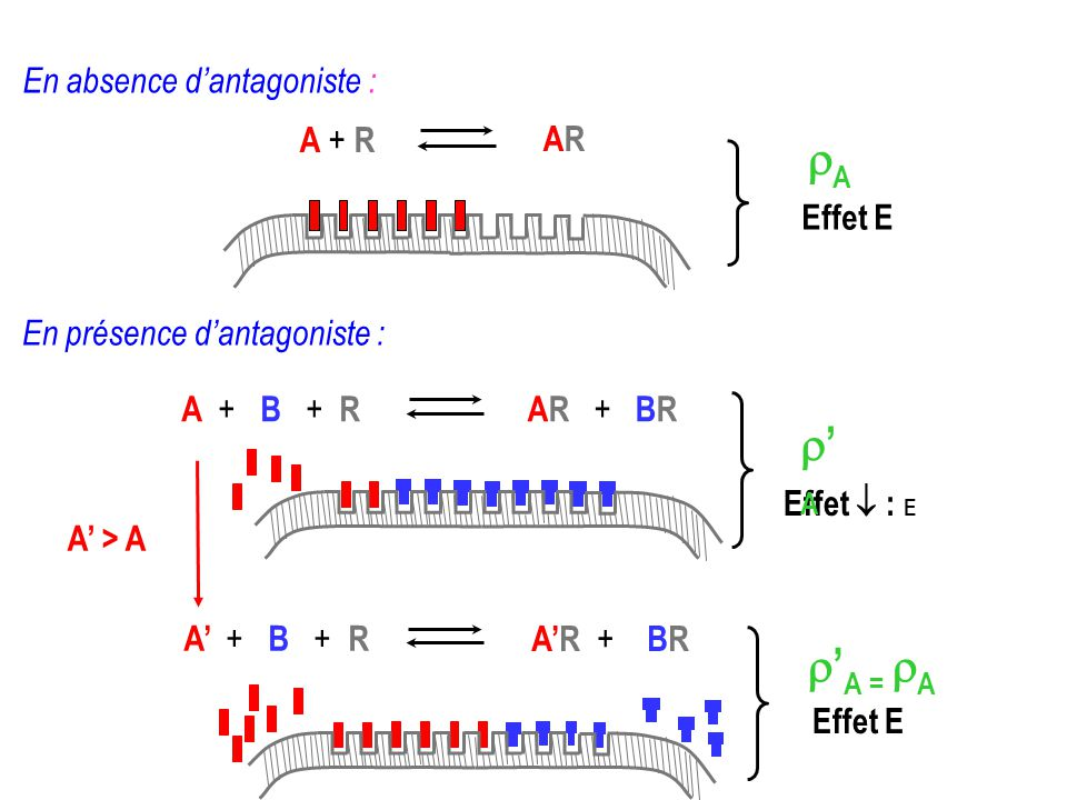 rA r'A r'A = rA En absence d'antagoniste : A + R AR Effet E