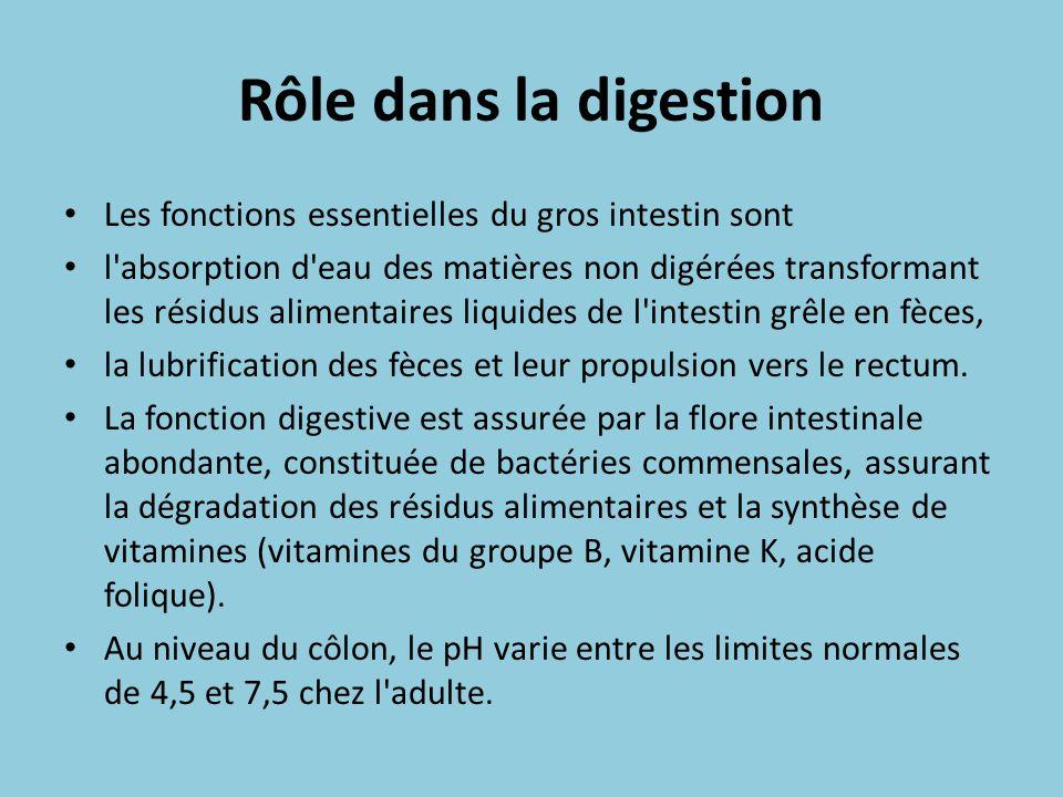 Rôle dans la digestion Les fonctions essentielles du gros intestin sont.