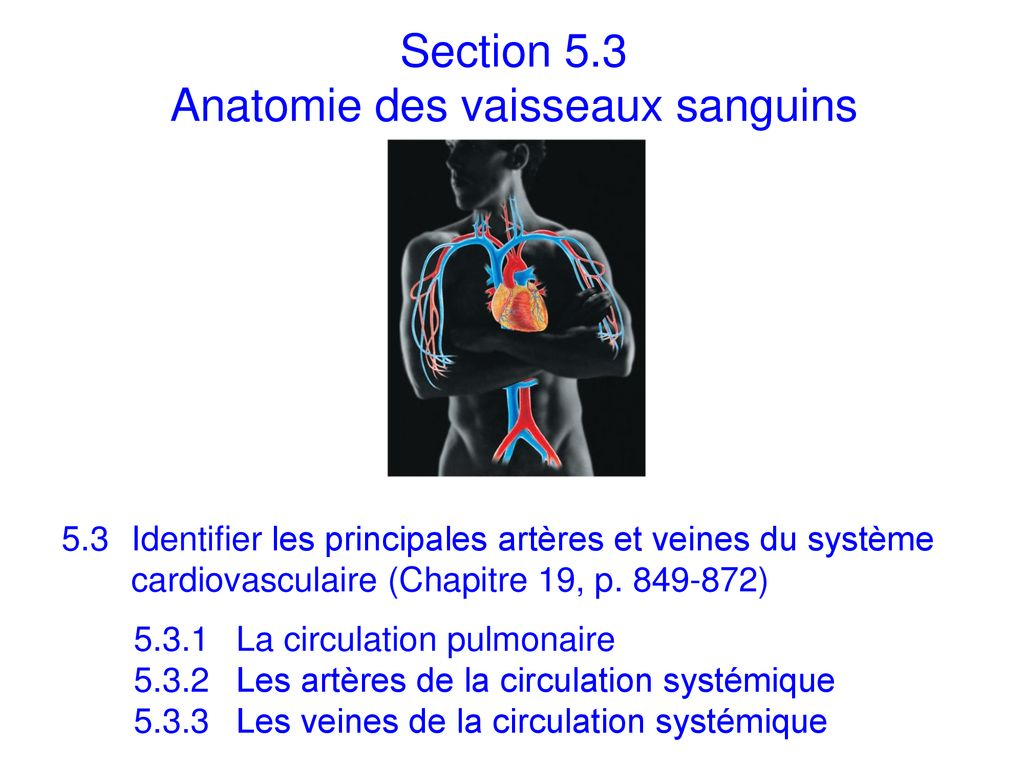 Section 5.3 Anatomie des vaisseaux sanguins