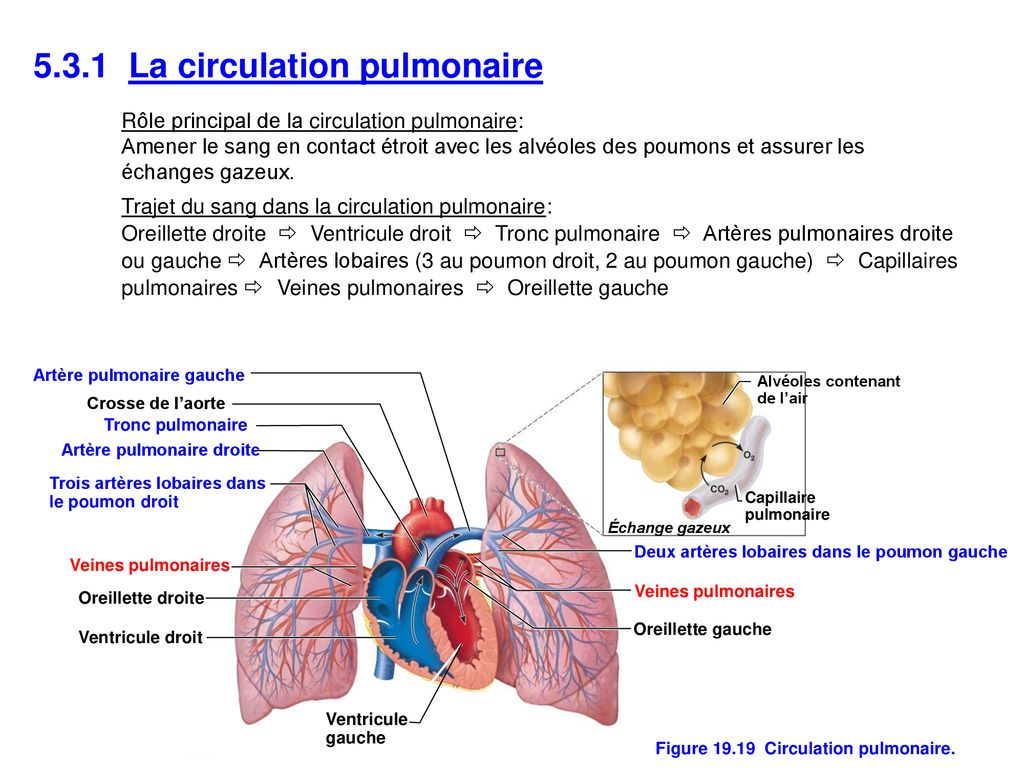 Figure Circulation pulmonaire.