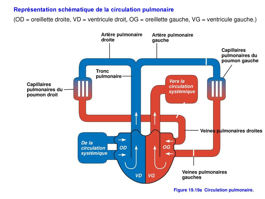 Figure 19.19a Circulation pulmonaire.