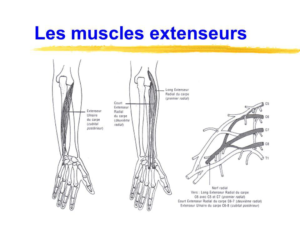 Les muscles extenseurs