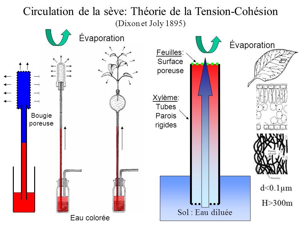 Circulation de la sève: Théorie de la Tension-Cohésion (Dixon et Joly 1895)