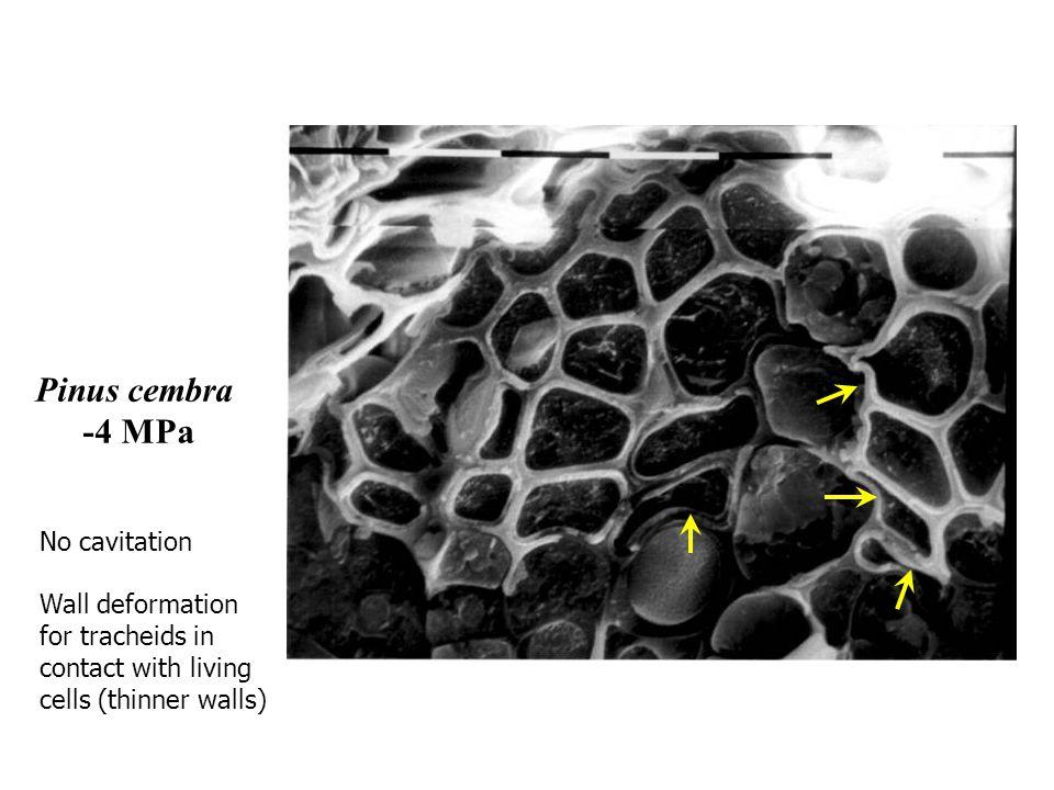 Pinus cembra -4 MPa No cavitation