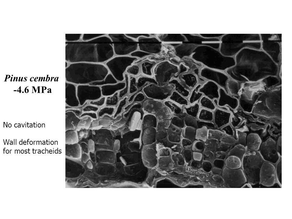 Pinus cembra -4.6 MPa No cavitation