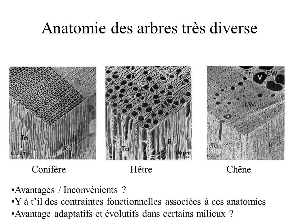Anatomie des arbres très diverse