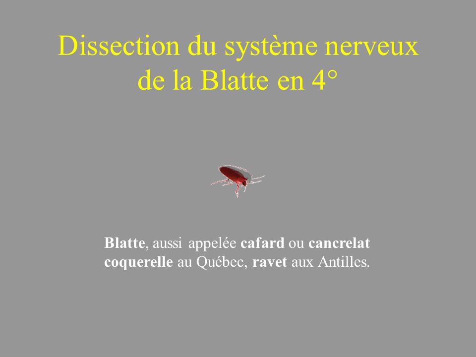 Dissection du système nerveux de la Blatte en 4°