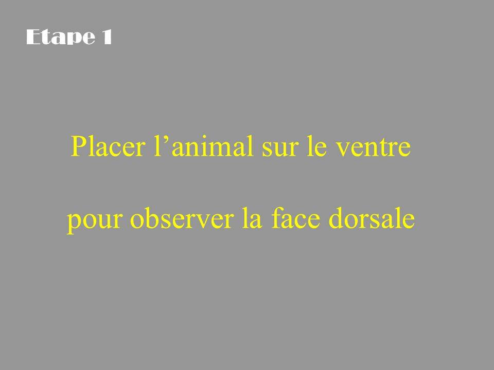 Placer l'animal sur le ventre pour observer la face dorsale