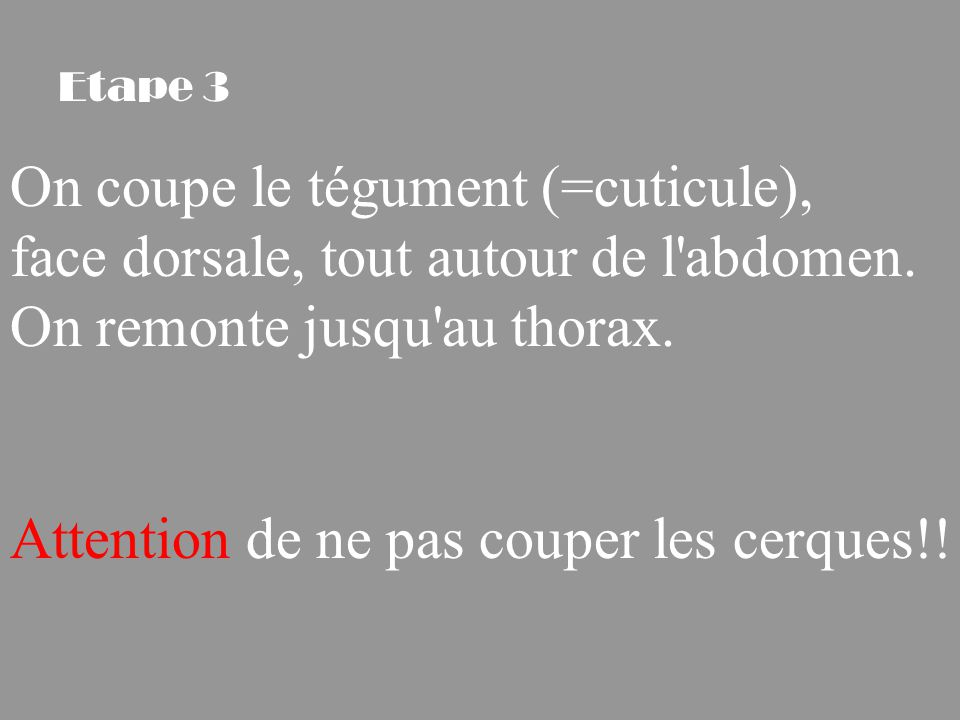 On coupe le tégument (=cuticule),