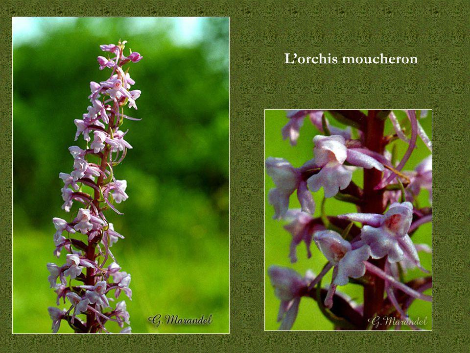 L'orchis moucheron