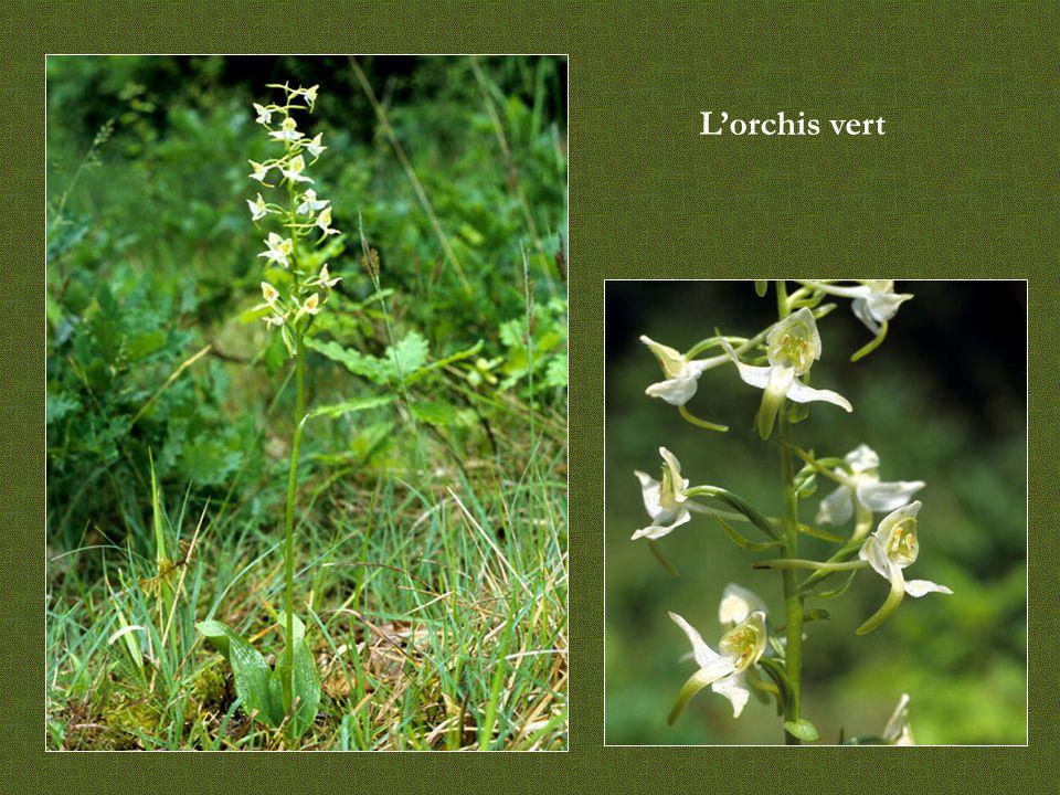 L'orchis vert