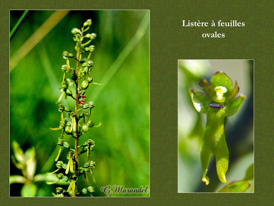 Listère à feuilles ovales