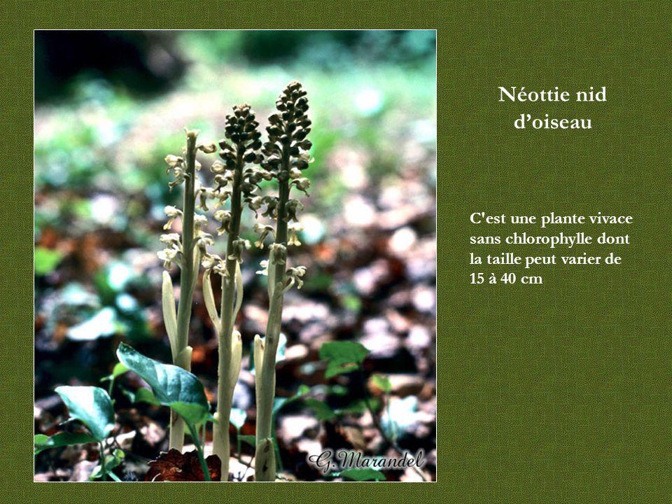Néottie nid d'oiseau C est une plante vivace sans chlorophylle dont la taille peut varier de 15 à 40 cm.