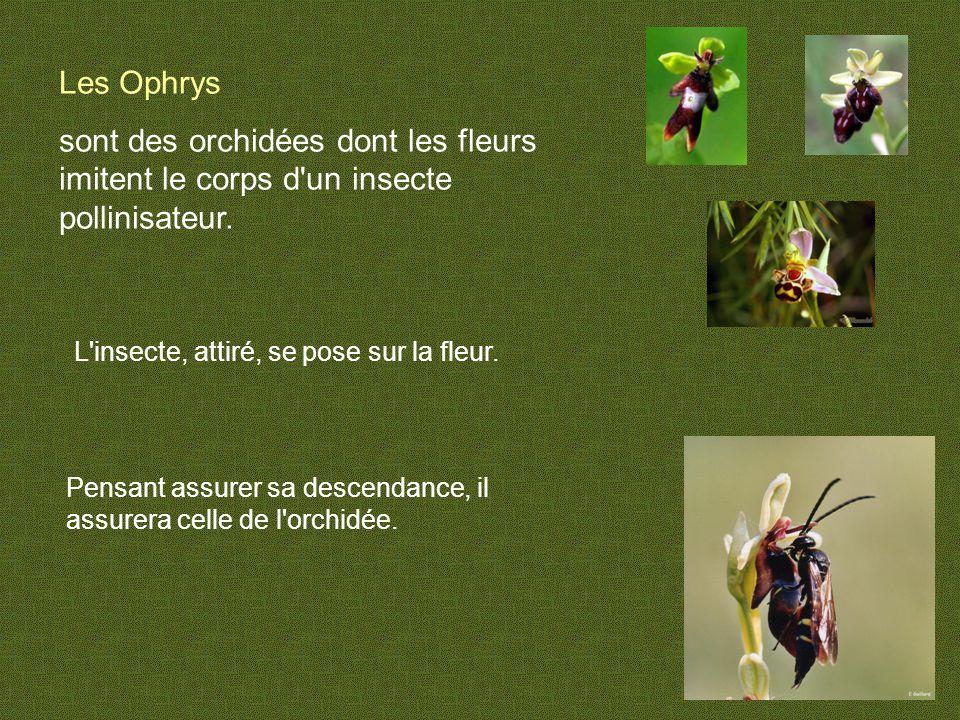 Les Ophrys sont des orchidées dont les fleurs imitent le corps d un insecte pollinisateur. L insecte, attiré, se pose sur la fleur.