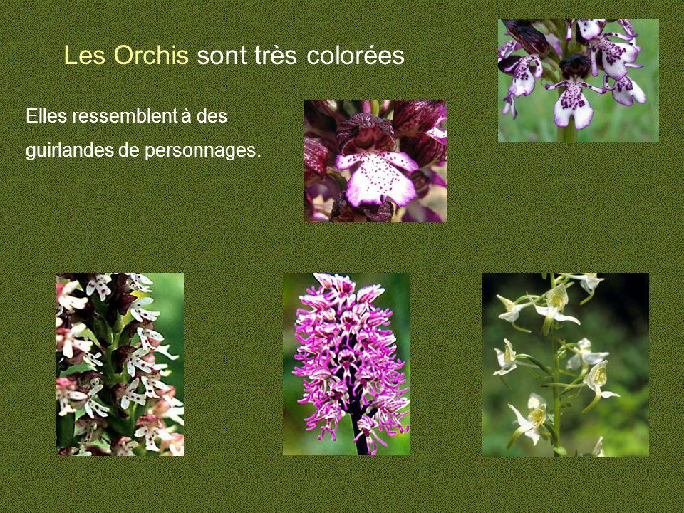 Les Orchis sont très colorées