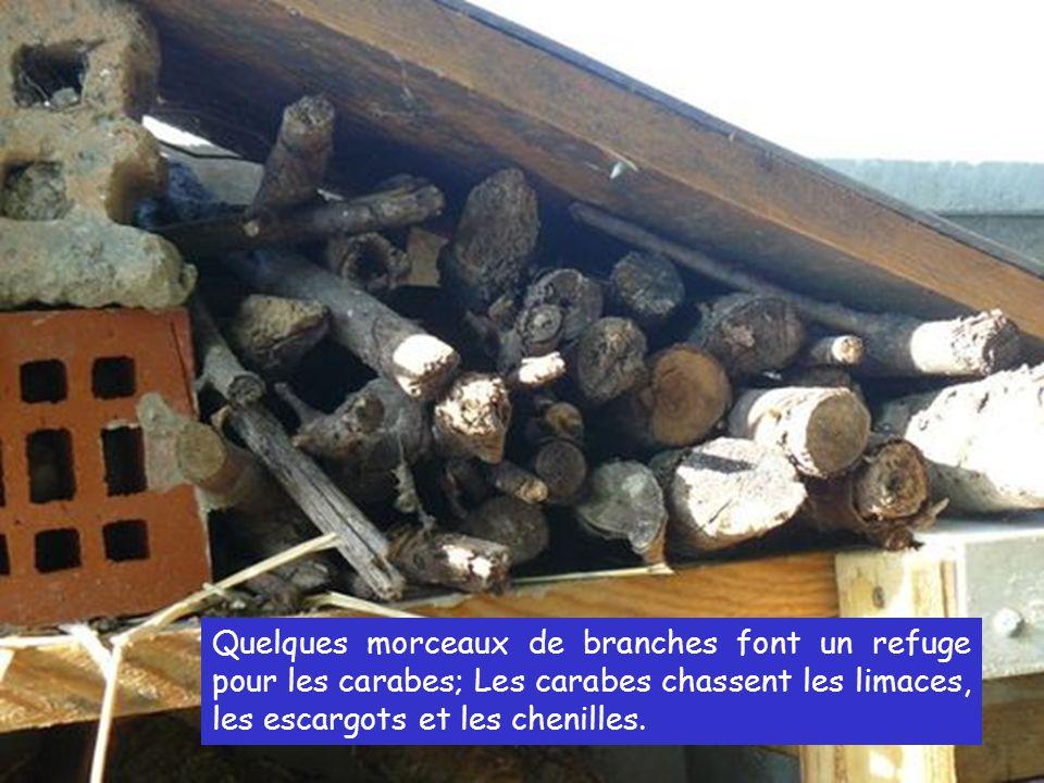 Quelques morceaux de branches font un refuge pour les carabes; Les carabes chassent les limaces, les escargots et les chenilles.