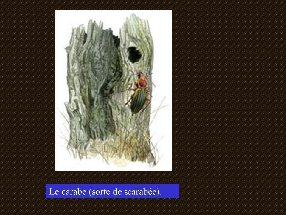 Le carabe (sorte de scarabée).