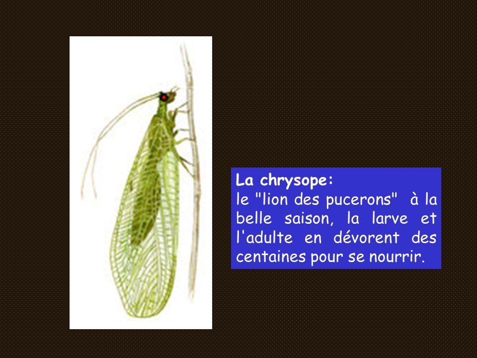 La chrysope: le lion des pucerons à la belle saison, la larve et l adulte en dévorent des centaines pour se nourrir.