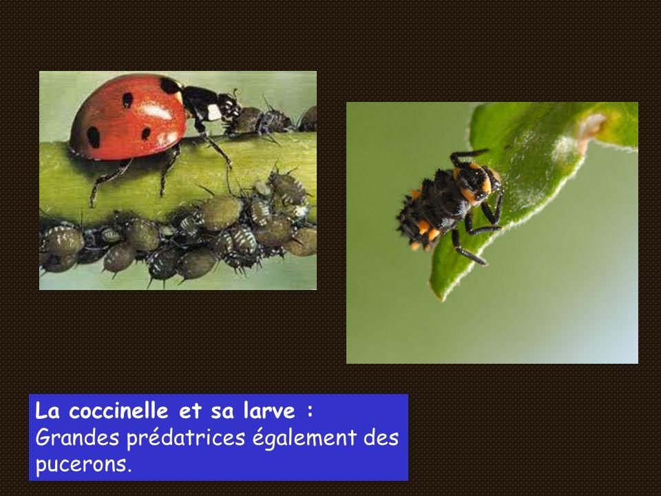 La coccinelle et sa larve :