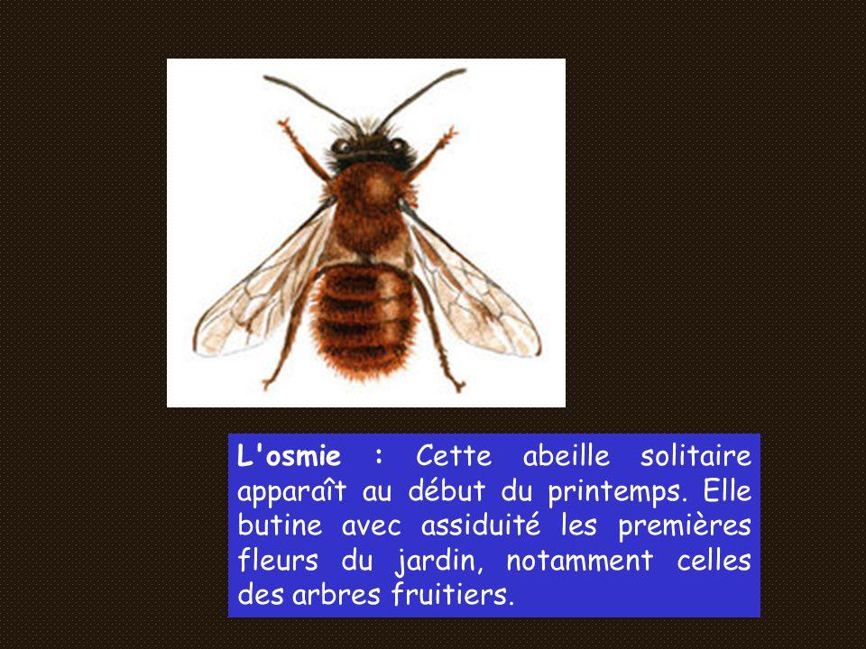 L osmie : Cette abeille solitaire apparaît au début du printemps