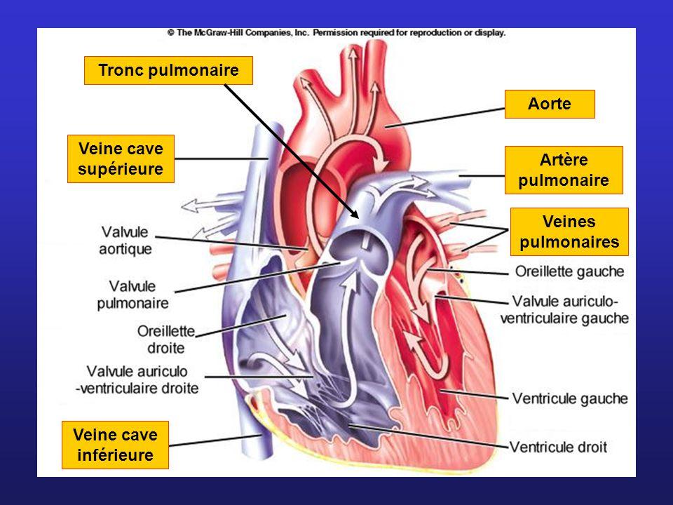 Artère pulmonaire Tronc pulmonaire. Aorte. Veine cave supérieure.