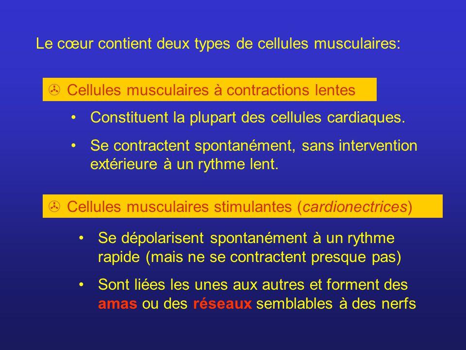 Le cœur contient deux types de cellules musculaires: