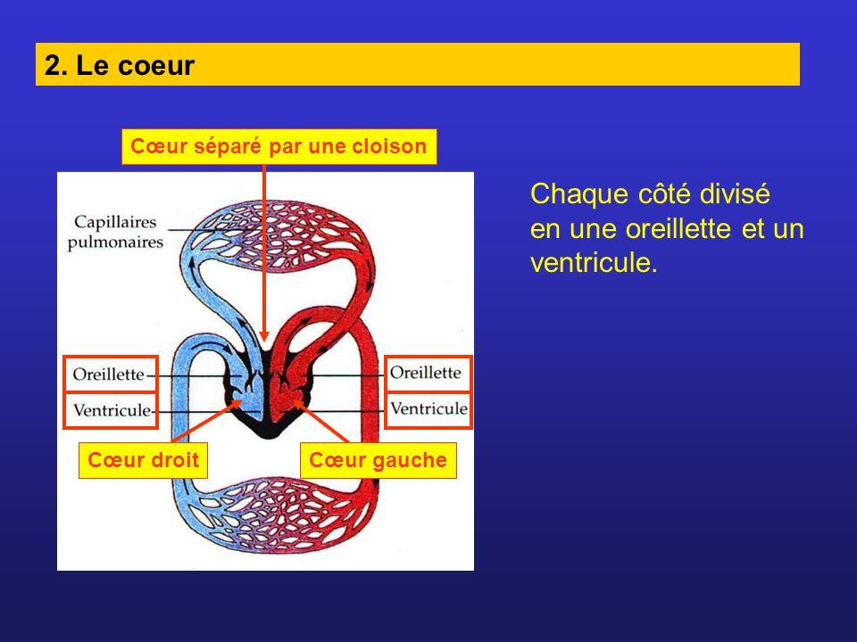 Chaque côté divisé en une oreillette et un ventricule.