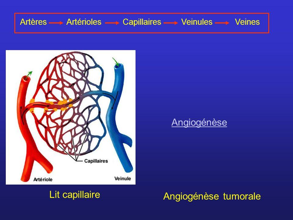 Angiogénèse Lit capillaire Angiogénèse tumorale Artères Artérioles