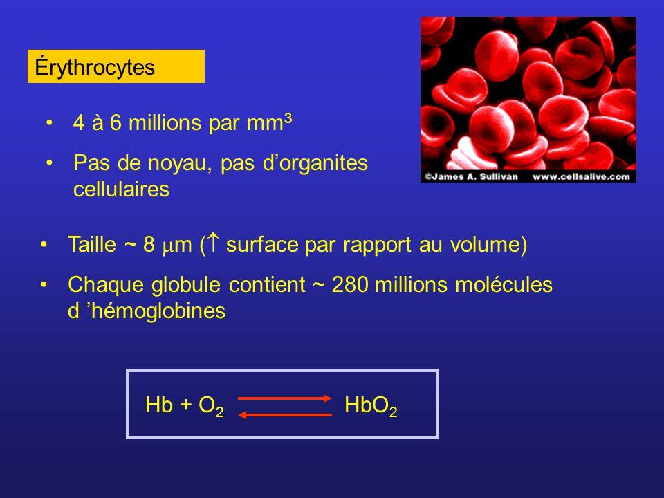 Érythrocytes 4 à 6 millions par mm3. Pas de noyau, pas d'organites cellulaires. Taille ~ 8 m ( surface par rapport au volume)