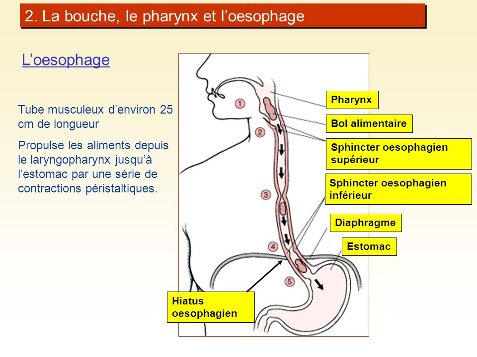 2. La bouche, le pharynx et l'oesophage